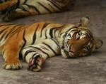 Tiger'03