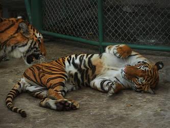 Tiger'05 by SheltieWolf