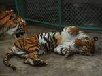 Tiger'05