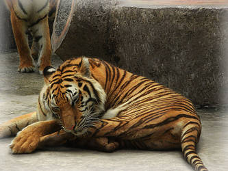 Tiger'06 by SheltieWolf