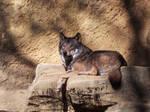 Wolf 01 by SheltieWolf