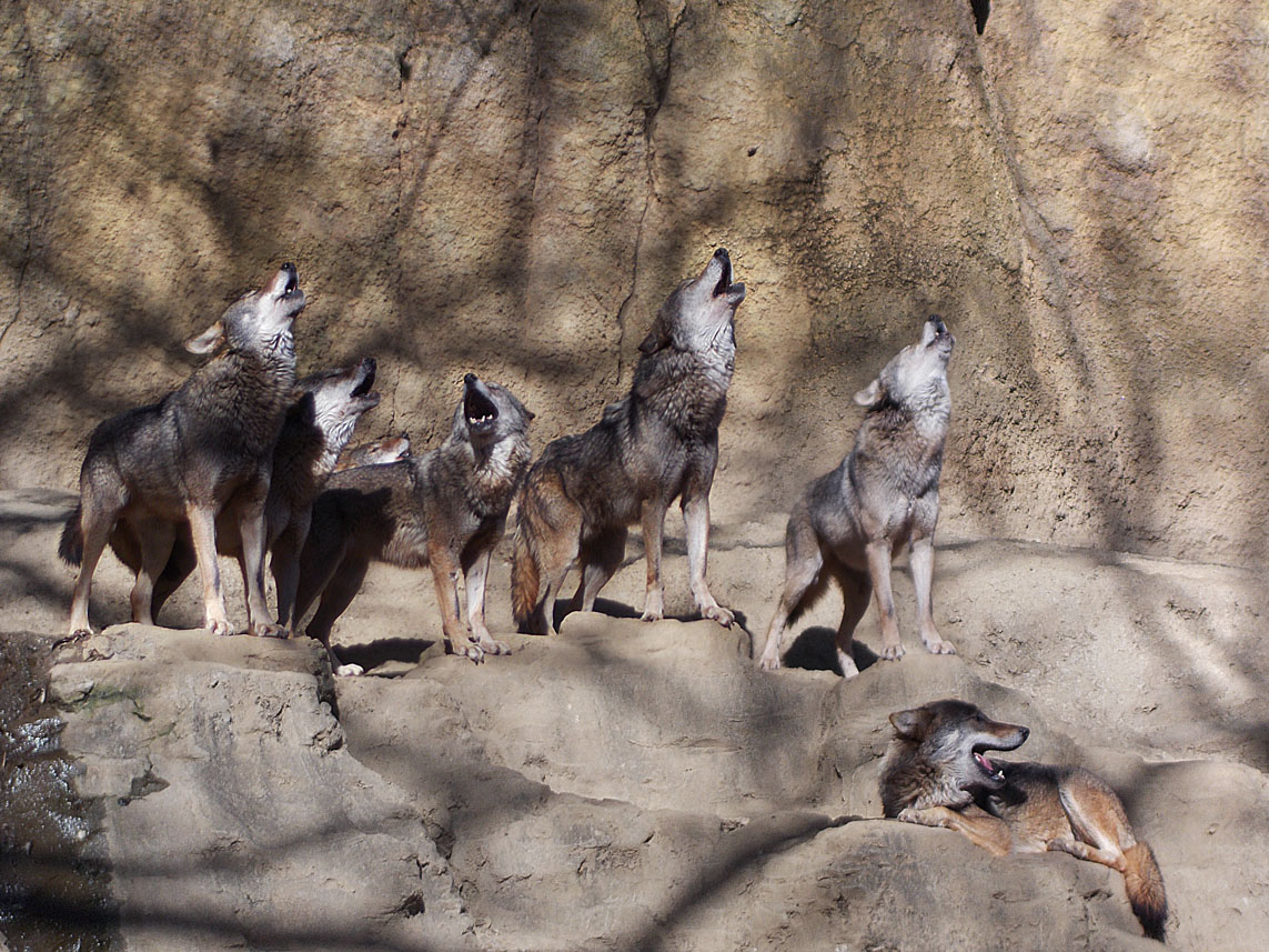 Wolf's Howling
