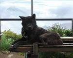 Kai Dog with Mt.Fuji