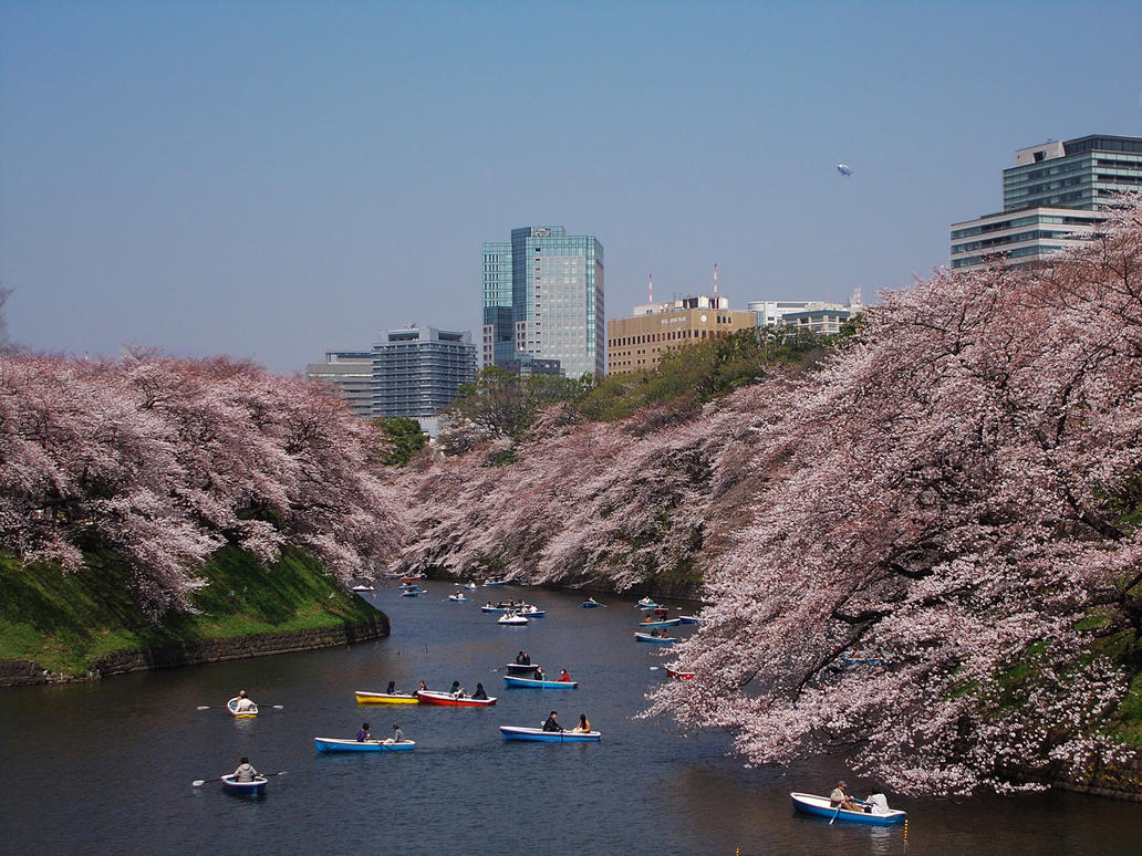 Cherry Blossom: Japan by SheltieWolf