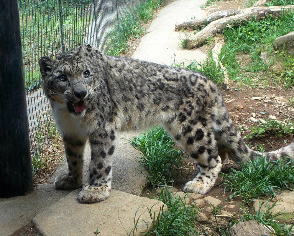 Snow Leopard by SheltieWolf