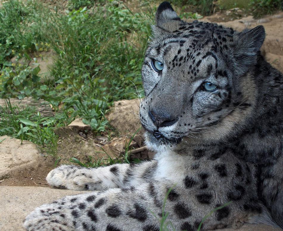 Snow Leopard'2 by SheltieWolf
