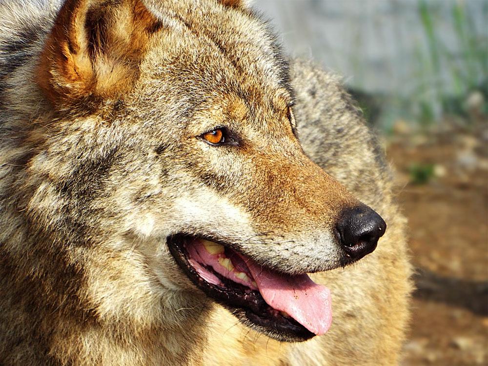 Wolf Profile by SheltieWolf