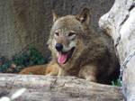 Wolf's midafternoon