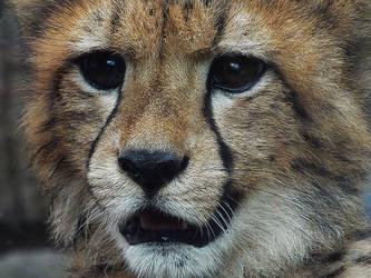 Cheetah by SheltieWolf