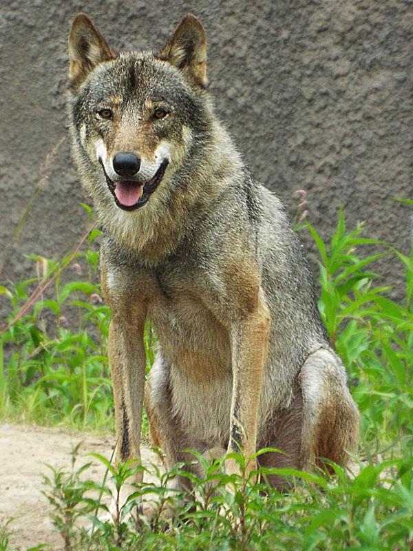 Wolf 27 by SheltieWolf