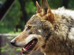 Wolf 30 by SheltieWolf
