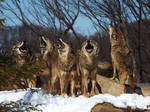 Wolf 34 by SheltieWolf
