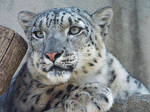 Snow Leopard'5