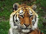 Tiger'10