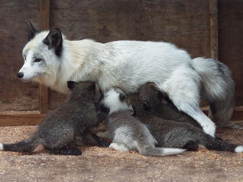 Mother Fox