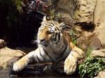 Tiger'11