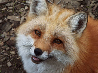 Fox Smile by SheltieWolf