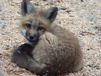 Fox Puppy by SheltieWolf