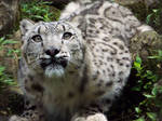 Snow Leopard'6