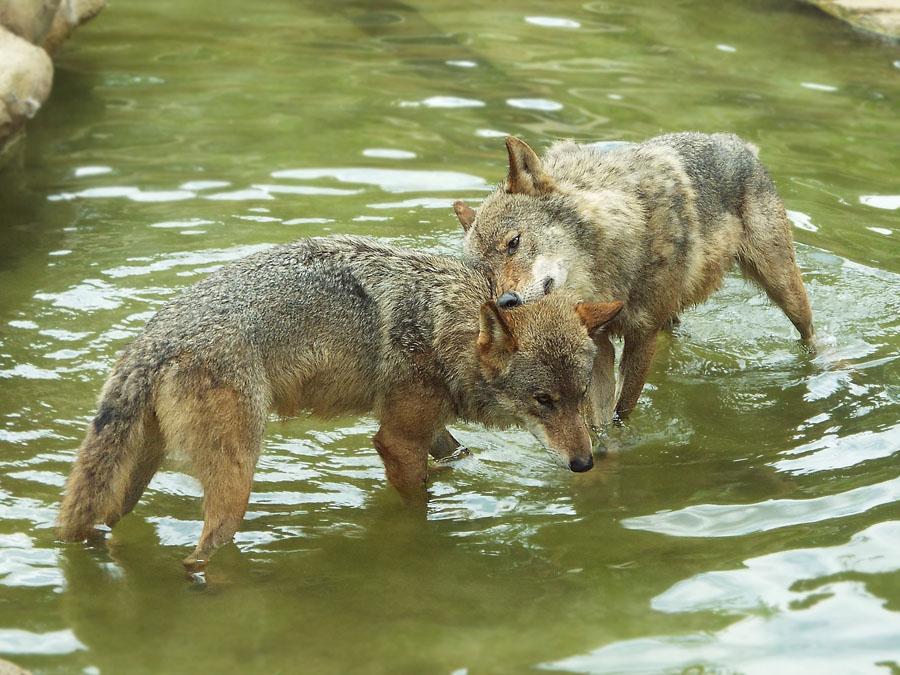 Wolf 43 by SheltieWolf