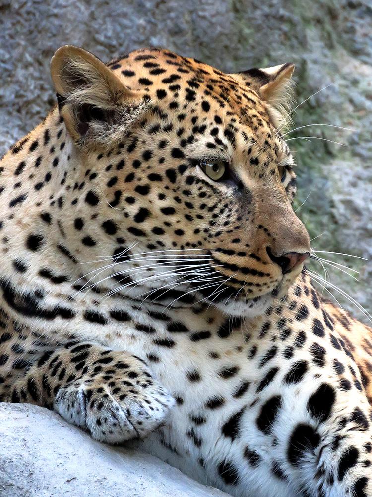 Leopard by SheltieWolf