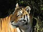 Tiger'13