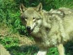 Wolf'43