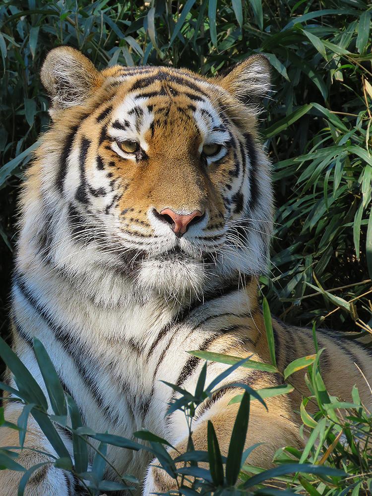 Tiger'14 by SheltieWolf