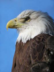 Eagle by SheltieWolf