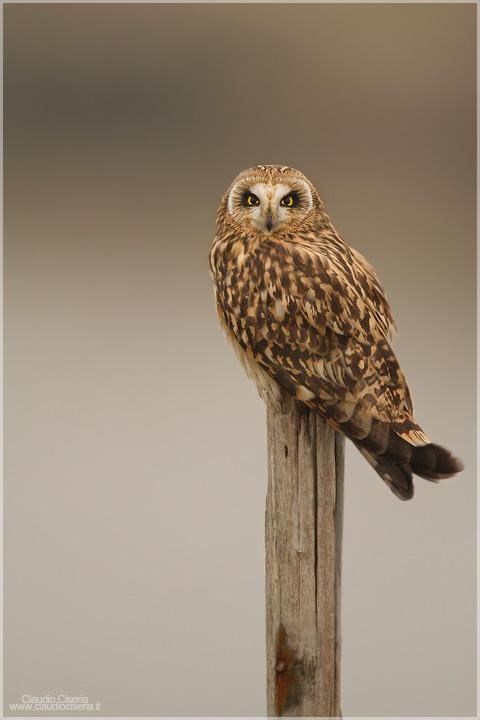 Short-eared Owl II by ClaudeG