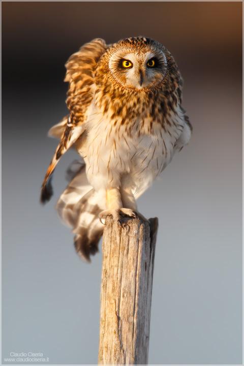 Short-eared Owl IV by ClaudeG