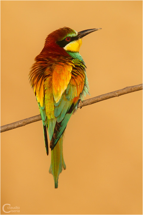 Bee Eater 2010 by ClaudeG