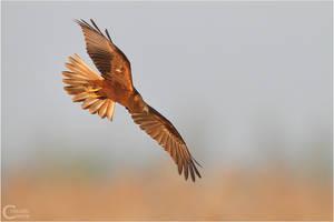 Marsh Harrier by ClaudeG