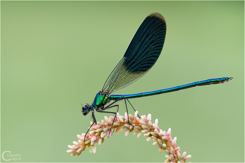 Calopteryx Splendens by ClaudeG