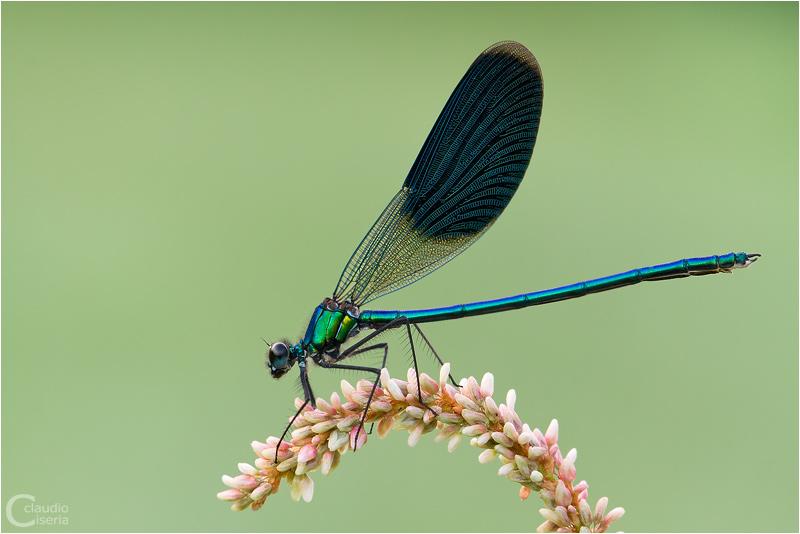 Calopteryx Splendens by ClaudeG