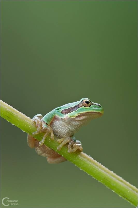 Hyla Arborea by ClaudeG