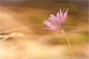 Anemone by ClaudeG