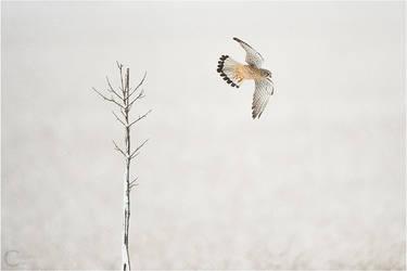 Common Kestrel under light snow by ClaudeG