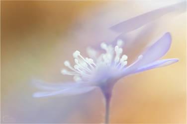 Hepatica Nobilis... by ClaudeG
