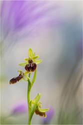 Ophrys Sphegodes by ClaudeG