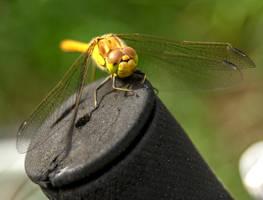 Dragonfly 2016