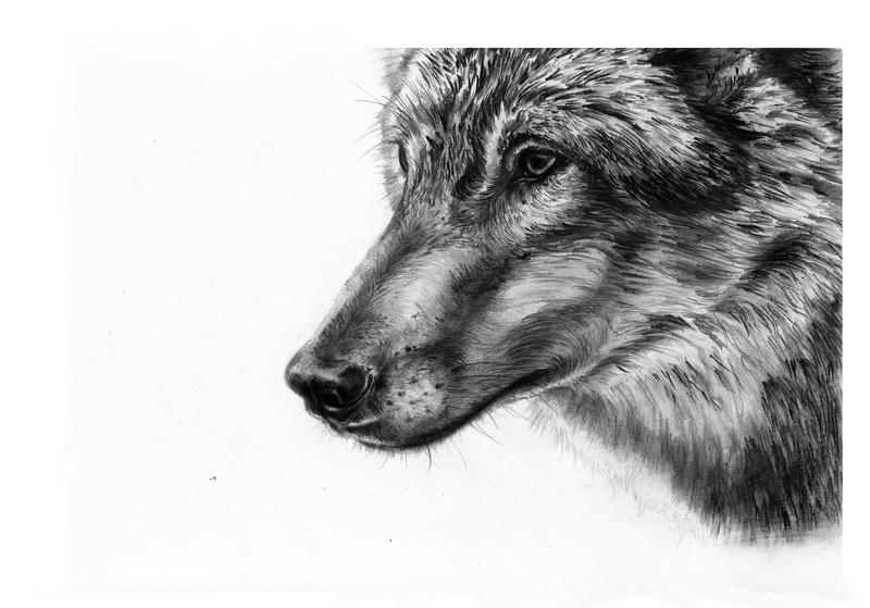 wolf by SandraWhite