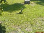 School Iguana