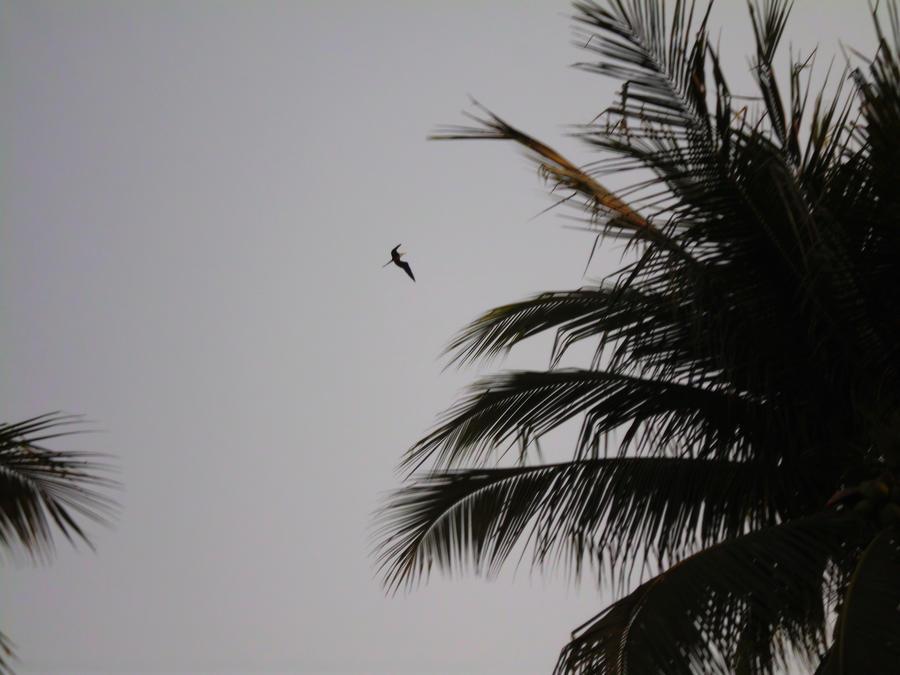 flying frigatebird by SilverMoon-Archer