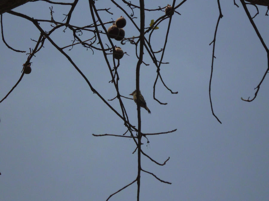 Greater Pewee by SilverMoon-Archer