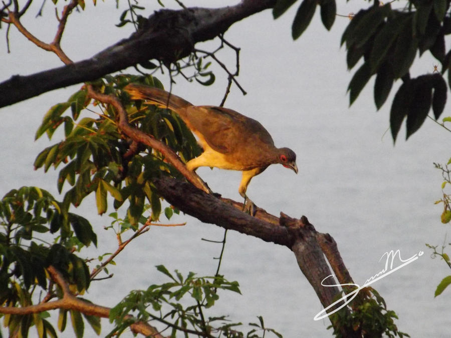 West Mexican Chachalaca by SilverMoon-Archer