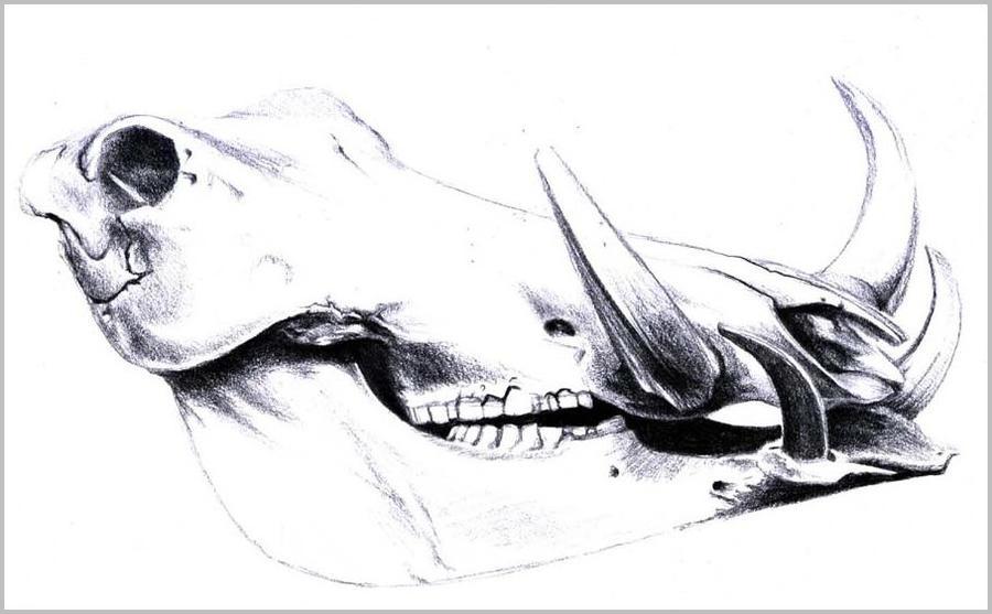 warthog skull by wheresmytea on DeviantArt
