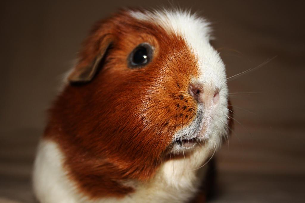 Crested guinea pig - photo#43