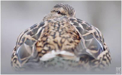 Birds - Mallard