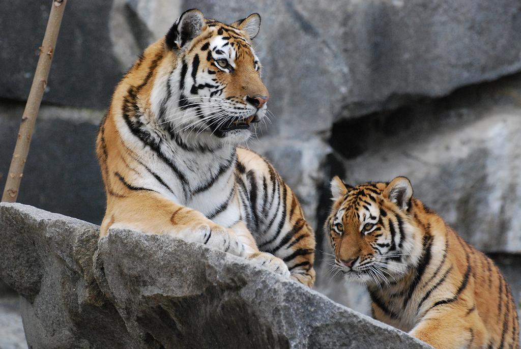 Stock - Siberian tigers by NFB-Fotografien